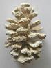 Sequoia sp.