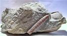 Callianassa sp., Belemnitella mucronata und einem