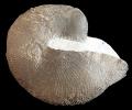 Cymatoceras cf. sharpei