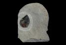 Parapuzosia (Austiniceras) austeni