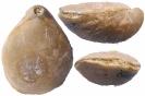 Moutonithyris cf. obtusa (SOWERBY)