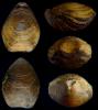 Brachiopode Harmatosia crassa (D´ARCHIAC 1847)