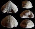 Brachiopode Cyclothyris baugasi (d´Orbigny 1847)