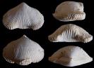 Brachiopode Cyclothyris vespertilio (BROCCHI 1814)
