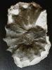 Graysonites adkinsi