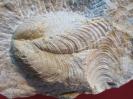 Inoceramus (Sphenoceramus) cf. lingua (GOLDFUSS 18