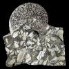 Sphenodiscus lenticularis