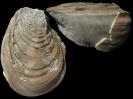 Cremnoceramus waltersdorfensis waltersdorfensis (A