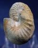 Scaphites obliquus (Sowerby 1813)