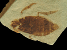 Coptoclava longipoda Ping, 1928
