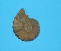 Dufrenoyia furcata (D´ORBIGNY)