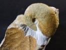 Barremites difficilis (juvenil)