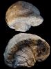 Aetostreon latissimum (LAMARCK)
