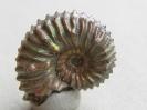 Hypancanthoplites clavatus