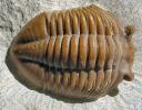 Asaphus sp.