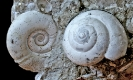 Planorbarius corneus und Cepaea sylvestrina