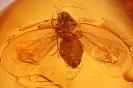 Aleyrodidae sp. Mottenschildlaus