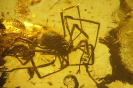 Arachnida Opiliones