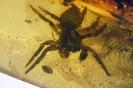 Arachnida Salticidae