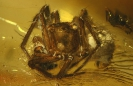 Arachnida Theridiidae