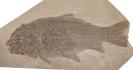 Amyzon gosiutensis Grande, Eastman & Cavender, 1982