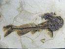 Astephus antiquus (Leidy, 1873)