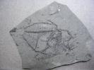 Zenopsis clarus Daniltshenko, 1960