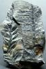Odontopteris schlotheimii
