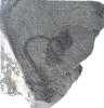 Ullmannia frumentaria