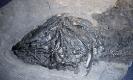 Coelacanthus granulatus