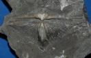 Pterospirifer alatus Schlotheim