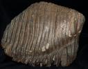 Molar eines Mammuthus primigenius