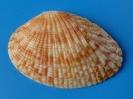Gafrarium pectinatum