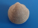 Glycymeris arabica