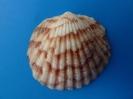 Tucetona andouini syn. Clycymeris pectunculus