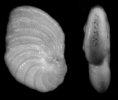 Peneroplis planatus (FICHTEL & MOLL,1798)