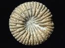 Palaeocyclus porpitus (Knopfkoralle)