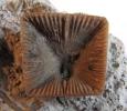 Goniophyllum pyramidale