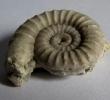 Ophioceras reticulatum