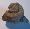 Oriostoma discors var.rugosum SOWERBY