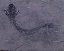 Guizhouamia bellula Liu, Yin & Wang, 2002