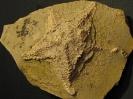 Trichasteropsis