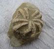 Trichasteropsis weissmanni