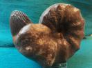 Ceratites nodosus mit  Plagiostoma striatum
