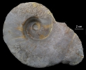Germanonautilus bidorsatus