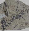 Sphenopteris schoenleiniana