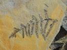 Asterotheca merianii