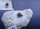 Acrodus sp.
