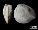 Muschel Myophoria vulgaris (Schlotheim 1820)