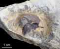 Nautilus - Rhyncholithes hirundo und Conchorhynchus avirostris im Verbund